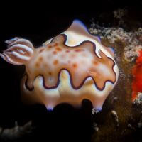 Mbonege2 Night 01 Nudi Chromodoris Coi